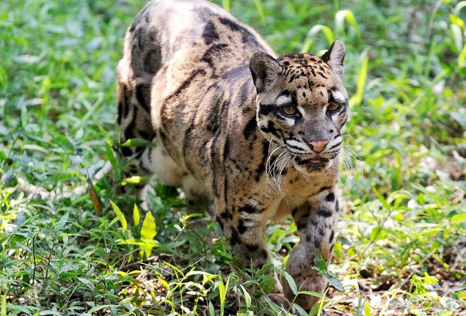 The Clouded Leopard is