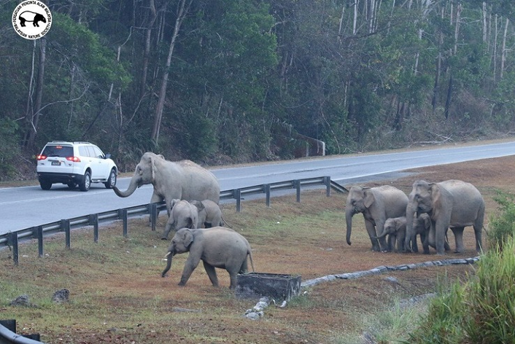 A group of elephants crossing a highway in Peninsular Malaysia. Similar conflicts will happen in Sukau area if a bridge/road is developed. – Photo credit and Copyright: Yeap Chin Aik/MNS