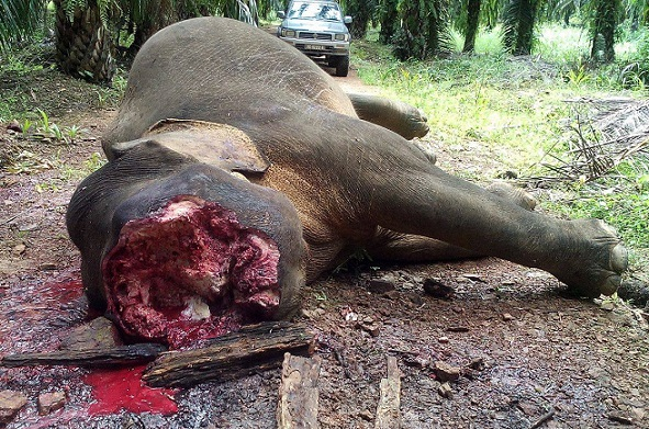 An elephant recently slaughtered for its ivory in Sabah. – Photo credit and Copyright: Sabah Wildlife Department