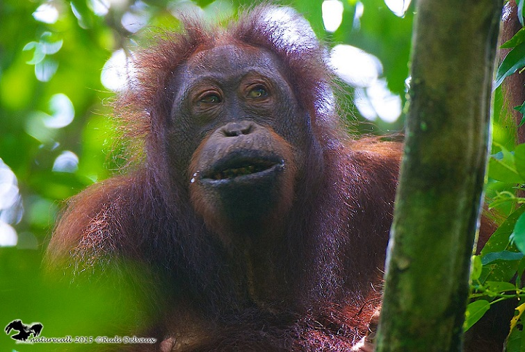 An orang-utan in the Lower Kinabatangan Wildlife Sanctuary, where the population, already highly fragmented (without a new bridge) is about 800 individuals. – Photo credit and Copyright: Rudi Delvaux/DGFC