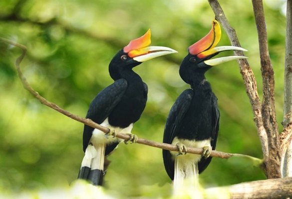 A pair of the magnificent Rhinoceros Hornbill which is found in Sarawak.