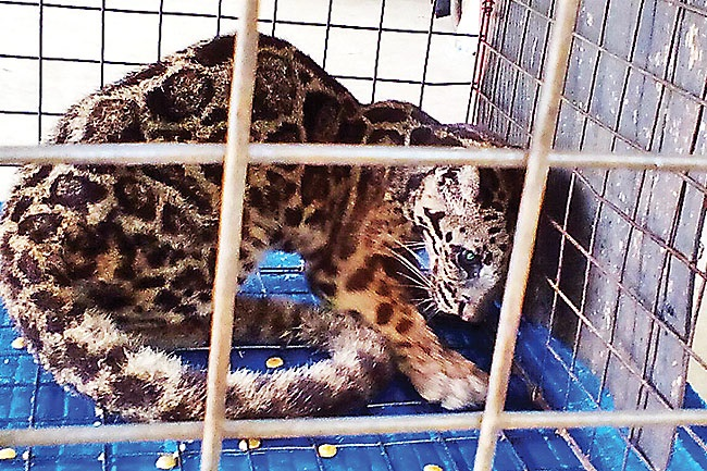 The Clouded Leopard