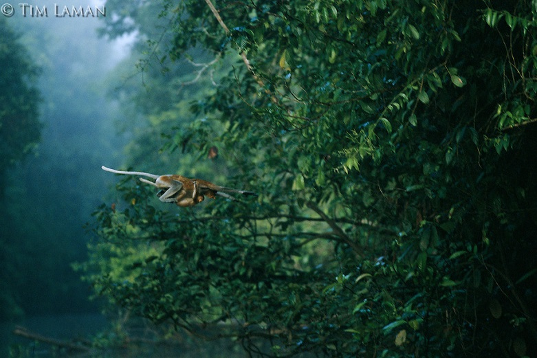 A proboscis monkey, her infant holding tight, makes a flying leap from one tree across a river at the Lower Kinabatangan Wildlife Sanctuary, Borneo Island. NGOs are against the construction of a bridge in this area as it would create problems for the wildlife found in the region. - Photo credit timlaman.photoshelter.com