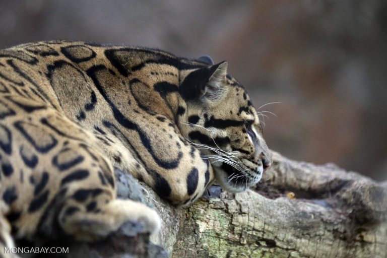 Surveys of FMU5 revealed the presence of the clouded leopard, a vulnerable species according to the International Union for the Conservation of Nature. - Photo credit Rhett A. Butler
